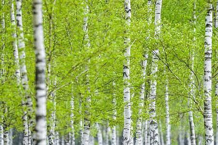 Die jungen Blätter von Birken leuchten in der Reicherskreuzer Heide im Naturpark Schlaubetal nahe Henzendorf. Der Klimawandel lässt Pflanzen früher sprießen - das kann die Dürre im Sommer verstärken. Foto: Patrick Pleul/dpa-Zentralbild/dpa