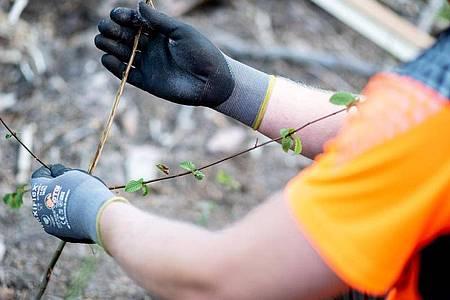 Jesco Ihme lernt in seiner Ausbildung zum Forstwirt auch, auf Details zu achten. Dieser junge Baum etwa weist einen Fegeschaden auf: Ein Rehbock hat sein Geweih an ihm abgerieben. Foto: Hauke-Christian Dittrich/dpa-tmn