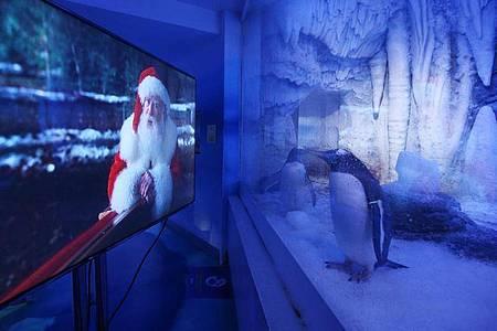 Zwei Pinguine im «Sea Life London Aquarium» schauen sich einen Weihnachtsfilm an. Foto: Yui Mok/PA Wire/dpa