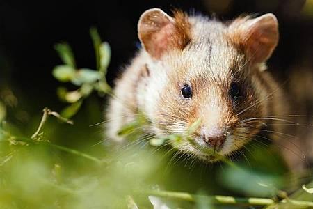 Der vom Elsass bis nach Sibirien einst millionenfach verbreitete Feldhamster ist jetzt offiziell in seinem gesamten Verbreitungsgebiet vom Aussterben bedroht. Foto: Uwe Anspach/dpa