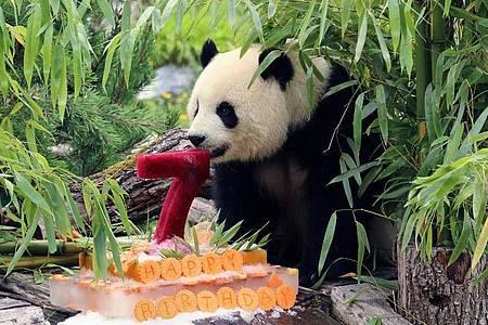 Panda-Dame Meng Meng zeigt schnell Interesse an ihrer Torte. Foto: --/Zoo Berlin/dpa