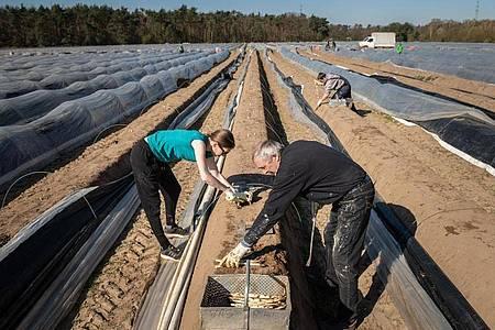 Zwei deutsche Erntehelfer auf einem Spargelhof. Wegen des Coronavirus fehlen zahlreiche Erntehelfer aus dem Ausland. Foto: Silas Stein/dpa