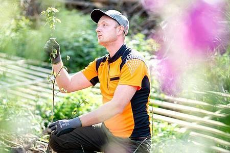 Forstwirte züchten auch Setzlinge - damit beschäftigt sich Jesco Ihme in seiner Ausbildung ebenfalls. Foto: Hauke-Christian Dittrich/dpa-tmn
