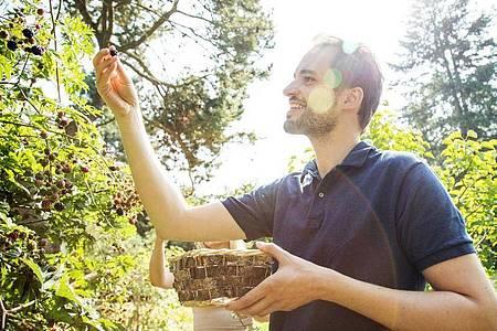 Nach der handverlesenen Ernte können die frischen Brombeeren genascht werden - oder auf dem Kuchen landen. Foto: Christin Klose/dpa-tmn