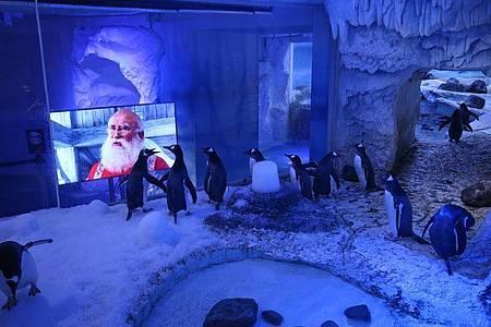 Der Weihnachtsfilm scheint den Pinguinen im «Sea Life London Aquarium» zu gefallen. Foto: Yui Mok/PA Wire/dpa