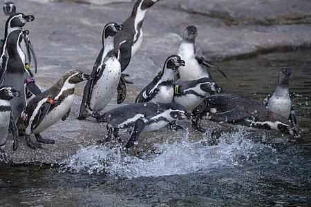 Humboldt-Pinguine stürzen sich im Freigelände des Pinguin-Beckens im Zoo von Frankfurt ins Wasser. Foto: Boris Roessler/dpa