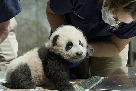 Xiao Qi Ji ist ein «kleines Wunder». Foto: Smithsonian?s National Zoo/AP/dpa