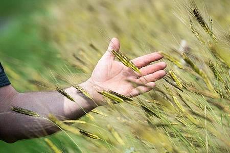 Als Urgetreide gelten alle Sorten, die schon vor Hunderten und Tausenden von Jahren angebaut wurden. Dazu zählt zum Beispiel das Einkorn. Foto: Armin Weigel/dpa/dpa-tmn