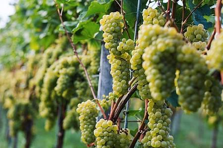 Im Spätsommer und Frühherbst findet in Südbaden die Weinlese bzw. der sogenannte «Herbst» statt, währenddessen die reifen Trauben entweder von Hand oder mit einem Vollernter geerntet werden. Foto: Philipp von Ditfurth/dpa