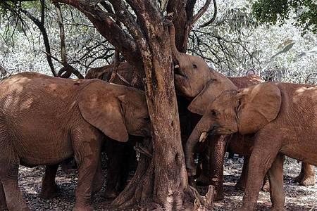 «Wenn wir weiter so viele Elefanten umbringen, werden wir sie in 20 Jahren nur noch im Zoo zu Gesicht bekommen», sagt Hannes Jaenicke. Foto: Khalil Senosi/AP/dpa
