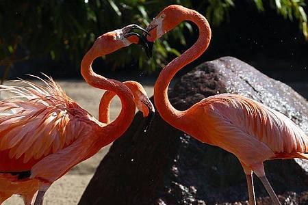Die Flamingos bei Hagenbeck genießen das kühle Nass. Foto: Christian Charisius/dpa
