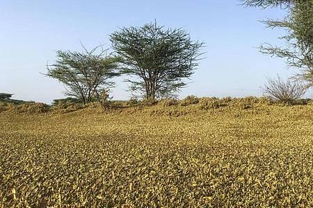 Ein riesiger Heuschreckenschwarm bedeckt im Norden Kenias den Boden. Foto: Boris Polo/AP/dpa