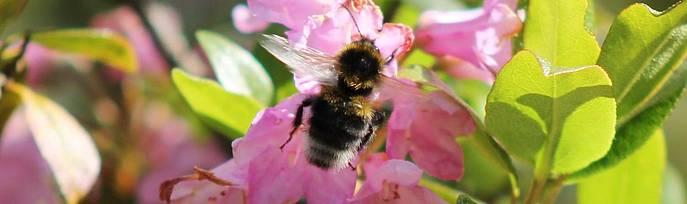 Biene sitzt auf einer rosa Blüte